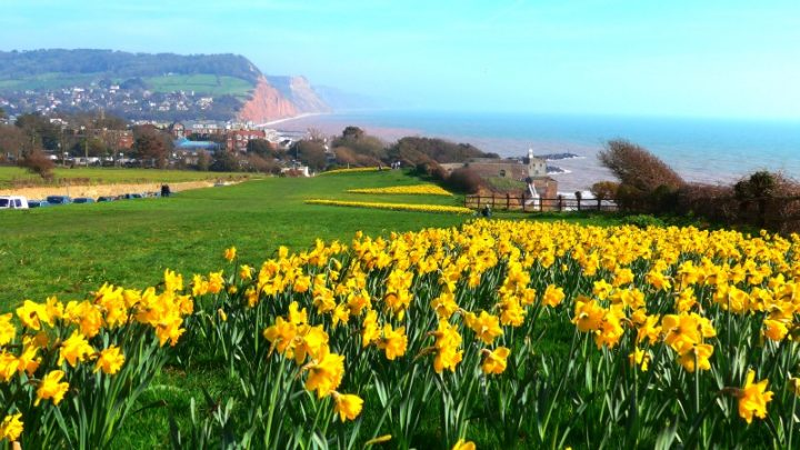 Our home town - Sidmouth town and sea taken from the top of Peak Hill and featuring our theme flower, the Daffodil
