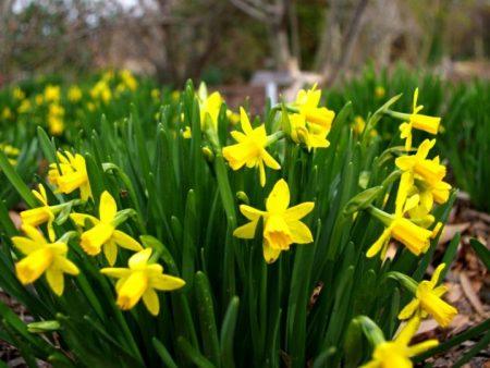 daffodils arriving